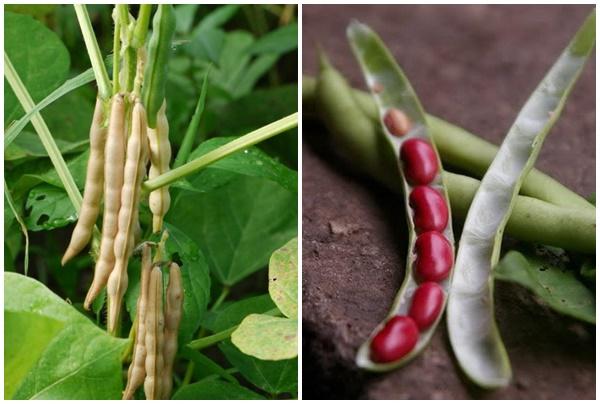 Quả và hạt đậu đỏ