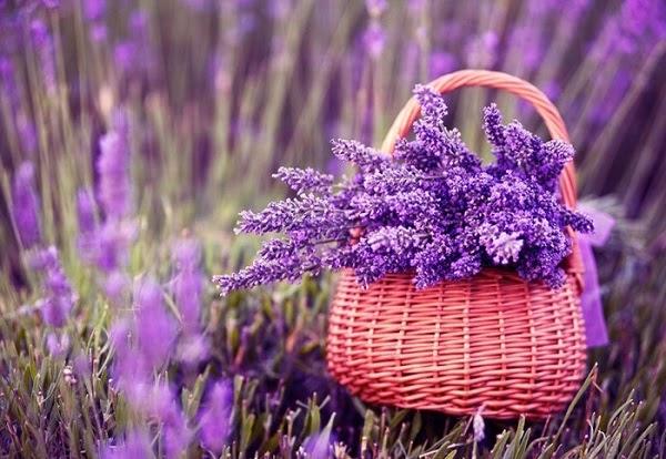 y-nghia-hoa-lavender-va-cach-trong-cham-soc-tai-nha-hoa-lavender-1-1596373482-891-width600height414