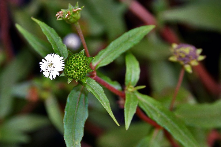 Hoa và quả cây cỏ mực